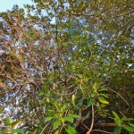 Castaway Norfolk Island - Castaway Banyan Tree